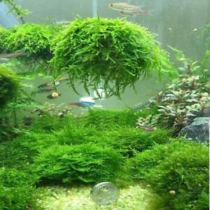 Moss-Shrimp-breeding-Carpeting-Plants-Live-Aquatic-Aquarium-EASY-GROW-T
