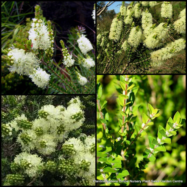 10 Scented Paperbark Hardy Native Plants Melaleuca squarrosa Flower Shrubs Trees