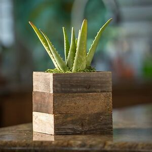 Aloe Vera Plant in Reclaimed Wood Succulent Kodiak Planter