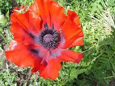 50+ PRINCE OF ORANGE POPPY  FLOWER SEED / PERENNIAL / PAPAVER ORIENTALE
