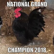 93 Traditional Serama Hatching Eggs Smallest Chicken Npip Champion Bloodline