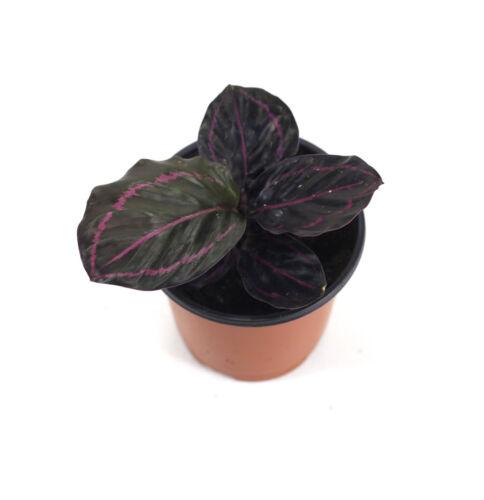 Cat safePlant AKA Prayer Plant Calathea roseopicta /'Dottie/'