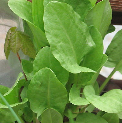 SORREL GARDEN 50  seeds culinary herb