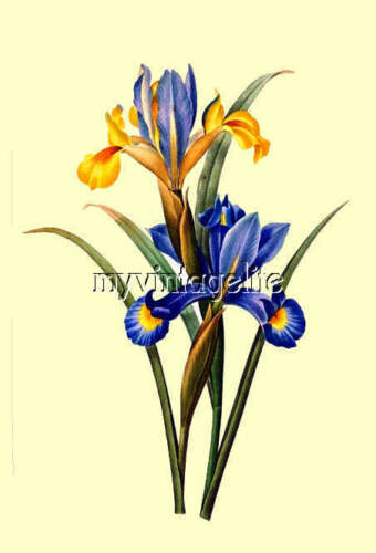 Beautiful Vintage Spanish Iris Botanical Quilting Fabric Block