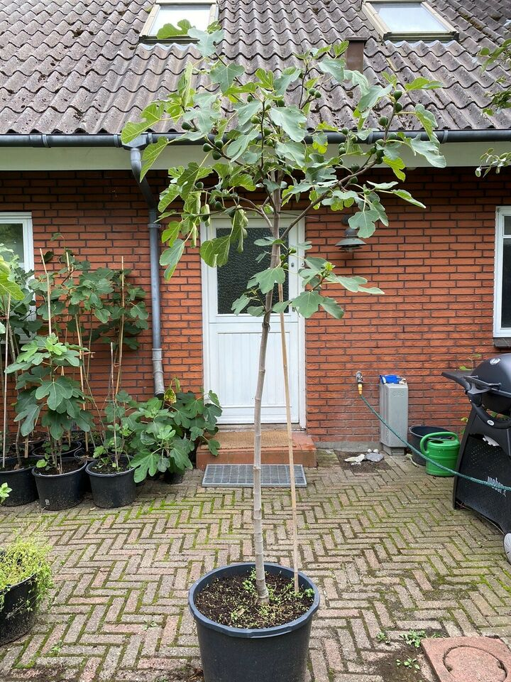 Figentræ, Brown Turkie