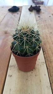 ECHINOCACTUS-GRUSONII-Cactus-vivo-5-5-pot-Kakteen-Live-Cactus