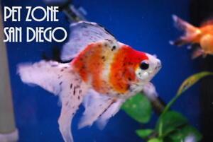 Details About Calico Ryukin Goldfish Beautiful Fancy Goldfish Live Fish