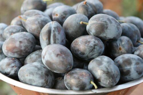 10 FRESH Prune Plum Seeds Prunus Domestica Santa Clara Cultivar from Malta