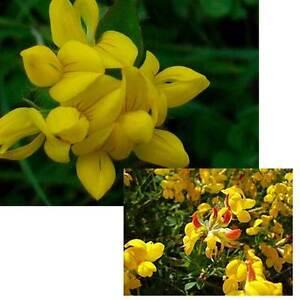4 000 Semillas Lotus Corniculatus Flores Silvestres Amarillas Seeds