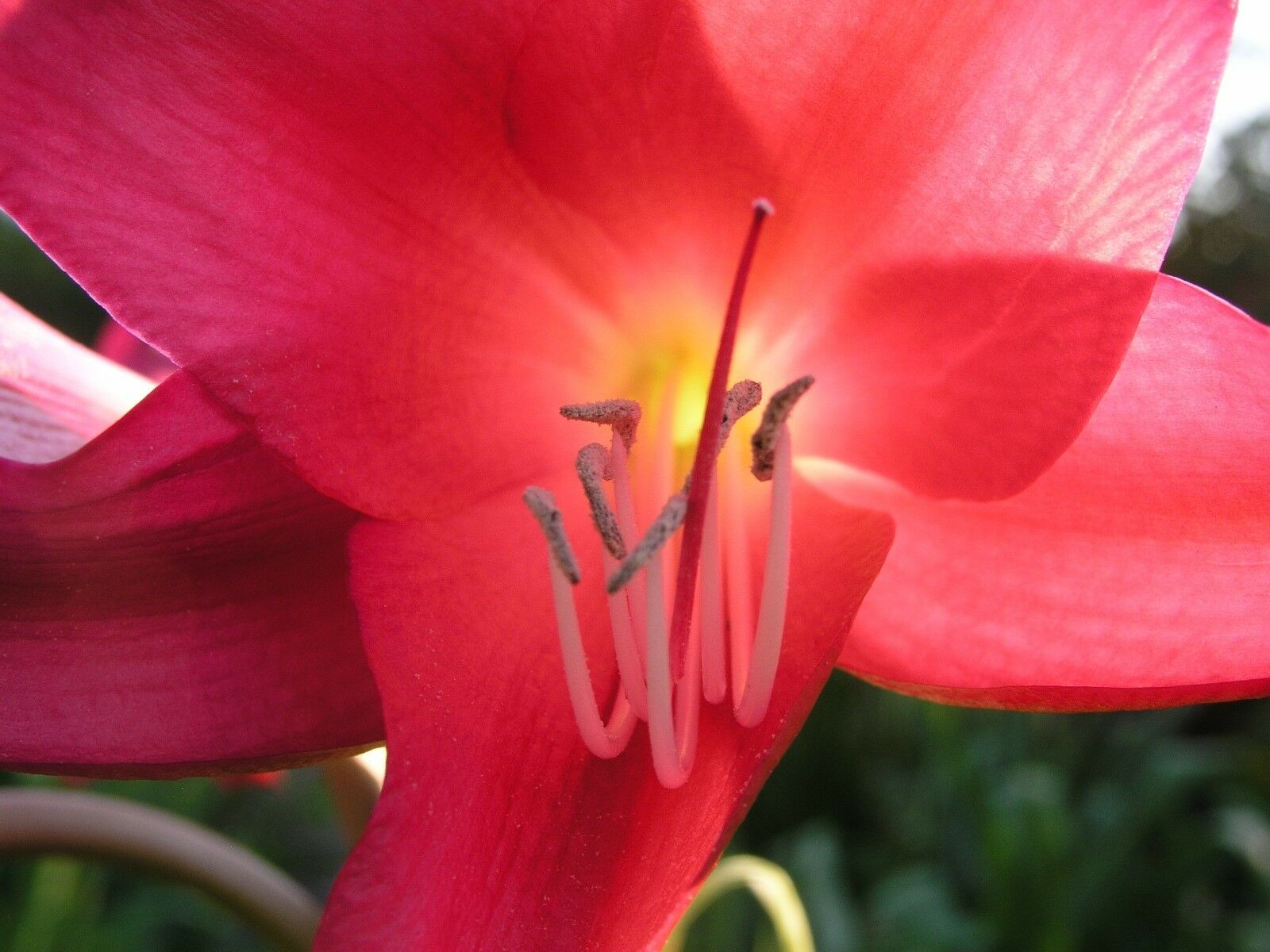 Crinum Lily, Sunbonnet, Jumbo, blooming-Größe bulb, NEW, largest bulb we sell WOW