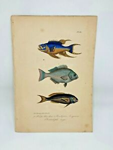 Fish-Plate-95-Lacepede-1832-Hand-Colored-Natural-History