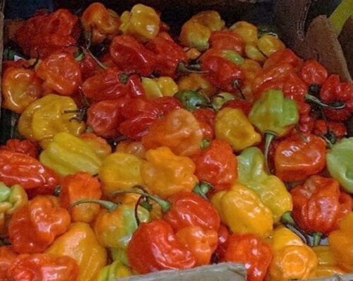 40 ORANGE SCOTCH BONNET PEPPER very hot Jamaican Capsicum Annuum Vegetable Seeds