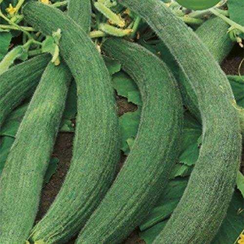 Tortarello Verde Scuro Cucumbers Seeds