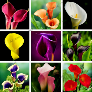 100Pcs Calla Lily Flowers Seeds 24 Kinds Beautiful Bonsai Perennial Room Flowers