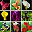 Calla-Lily-Bonsai-vivace-Fleurs-Plantes-Decoration-100-Pieces-Graines-Rare-2019-N miniature 1