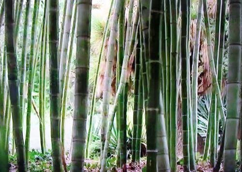 Dieser Bambus vermehrt sich von selbst und ist winterhart und immergrün !
