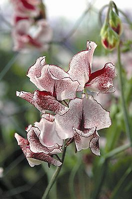Kings Seeds - Sweet Pea - Spencer Type - Wiltshire Ripple - 20 Seeds