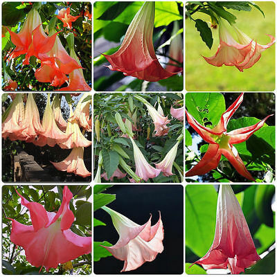 40x Red Brugmansia Datura Seeds Angels Trumpets Flower Garden Plant Seed Hot