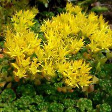 Sedum Oregon Stonecrop Succulent Seeds (Sedum Oreganum) 50+Seeds