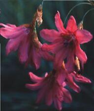 FLOWER - DIERAMA IGNEUM - 50 SEEDS - LARGE PACKET