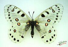 snow apollo swallowtail butterfly Parnassius apollonius SET x1 TS A1 FM RARE