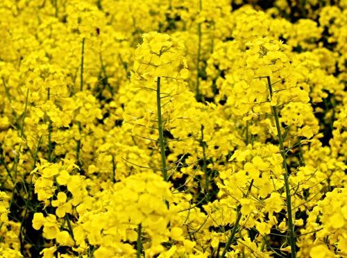 Brassica napus for healthy Rapeseed Oil Winter rape seed erucasäurefrei