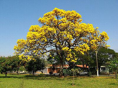 Yellow Jacaranda (Schizolobium parahybum) - Fresh Seeds
