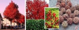 Amberbaum ★ Ostergeschenk Geschenk für Männer Ostern Dekoration Zierbäume Samen