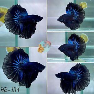 (HB-134) Dark Knight Blue Star Halfmoon-Live Halfmoon Betta Fish High Quality