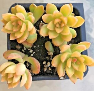 Sedum-Adolphii-039-Golden-Sedum-039-Comes-in-a-4-034-Pot