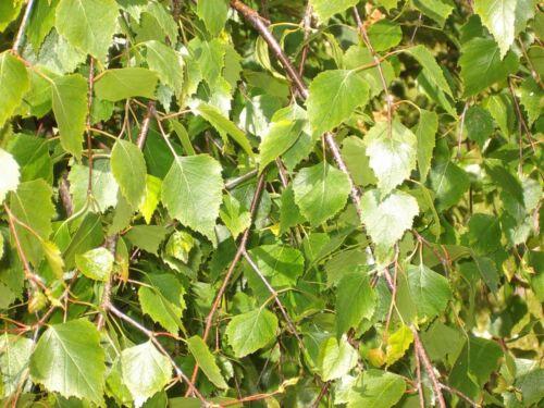 250 Silver Birch Trees 2-3ft,Stunning Winter Colour,Betula Pendula Plant,60-90cm
