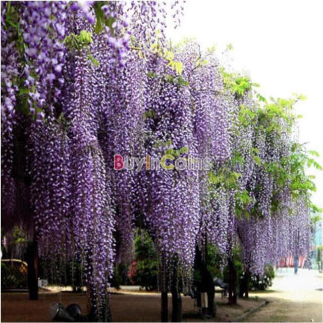 20/40Pcs Fragrant Seeds Fragrant Home Tool Purple Wisteria Vine Tree Flower