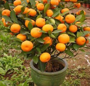 Details About Mandarin Orange Tree Seeds Citrus Reticulata Blanco Indoor Outdoor Fruit Plant