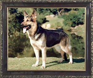 German-Shepherd-Dog-Animal-Wall-Decor-Mahogany-Black-Framed-Art-Print-Picture