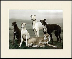 LOVELY-GREYHOUND-DOG-GROUP-FIVE-DOGS-LOVELY-LITTLE-MOUNTED-PRINT-READY-TO-FRAME