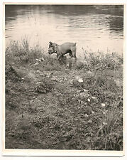 1940's-1950's great photo of Dogs, boxers, playing in the water