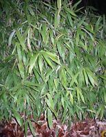 Find Japansk Bambus Pa Dba Kob Og Salg Af Nyt Og Brugt