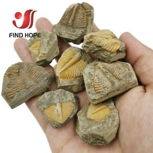 100-Natural-Trilobite-Tail-Fossil-Ancient-fossils-teaching-specimens-Collection