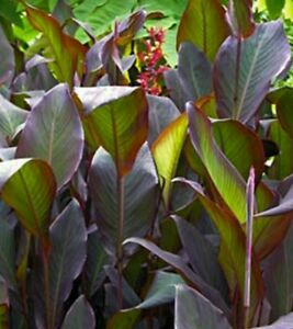 Details About 2 Canna Lily Red Stripe Tall Bronze Green Large Foliage Bulbs Rs Rhizomes