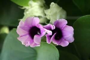 6-Semillas-Rosa-Lisergica-ARGYREIA-NERVOSA-Flores-Garden-Samen-Semi-Flower