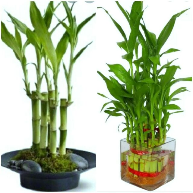 FREE SHIPPING 3 Tier 4 6 8 Top Quality Lucky Bamboo For Feng Shui Total About 38 Stalks