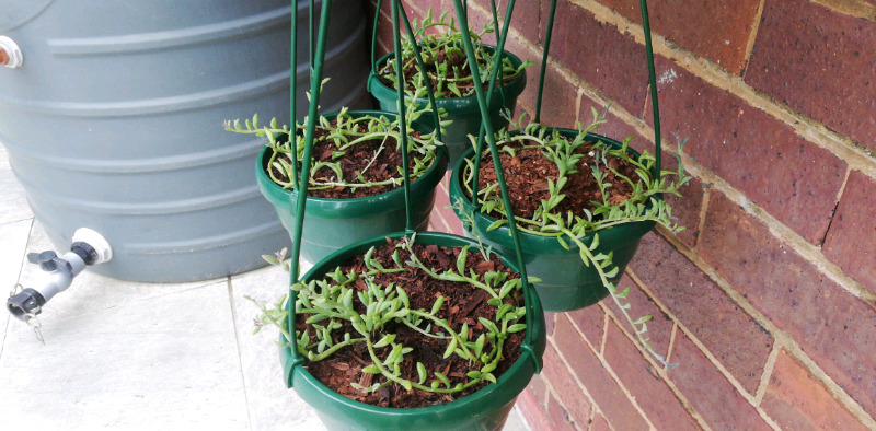 String of dolphins in hanging pots for sale (medium)