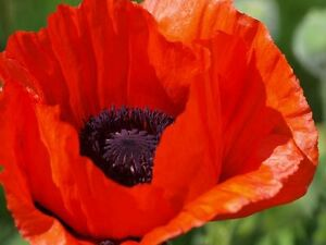 100 gigantic scarlet red poppy flower seeds papaver deer image is loading 100 gigantic scarlet red poppy flower seeds papaver mightylinksfo