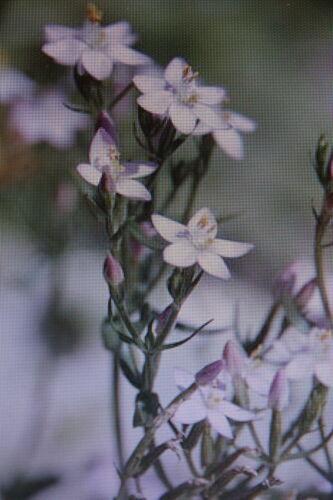 2 x 20 Samen Tausendgüldenkraut,Centaurium erythraea#493