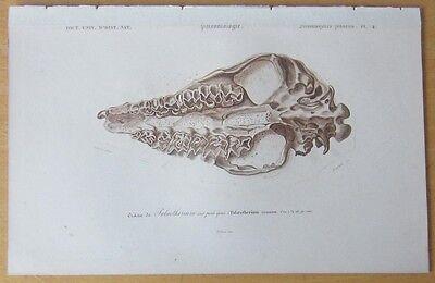 Orbigny: Fossil Skull Palaeotherium - 1849