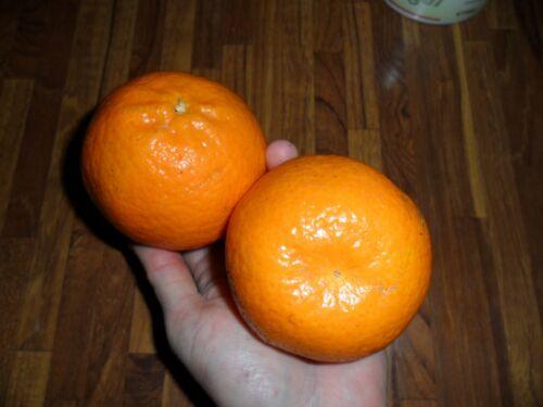 Rare Fruits*  Citrus tangerina Honey Tangerine*best citrus varieties *5 seeds
