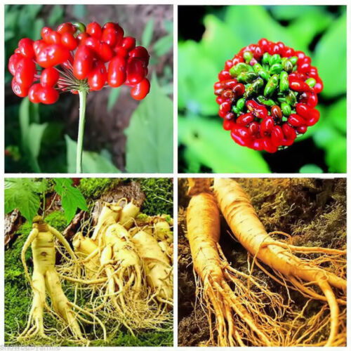 50Pcs Chinese//Korean Panax Ginseng Asian Seeds Fresh For Planting Nutrition
