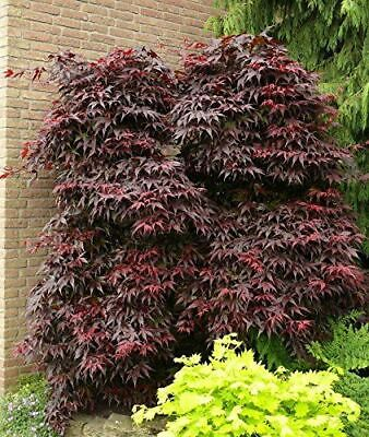 2L 1X 3FT LARGE ACER PALMATUM ATROPURPUREUM PLANT JAPANESE MAPLE TREE