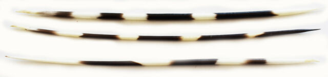 """3 Large African Porcupine Quills (6-8"""") Handpicked Crafts Decor Hobby Hair Stick"""