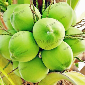 Coconut-Tree-Bonsaiperennial-Seeds-Plants-Tropical-Fruit-For-And-Home-10pcs-bag